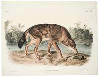 Canis Lupus. Linn, Var Rufus. Red Texan Wolf. Male. [Plate LXXXII]