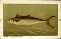 The Spanish Mackerel. Scomberomorus maculatus