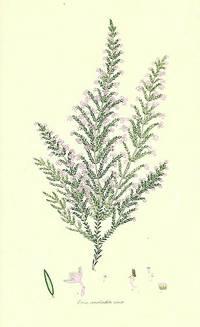 Erica canaliculata, minor