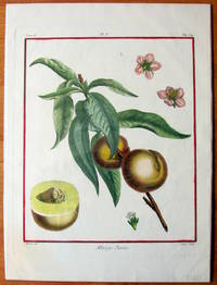 Antique Copperplate Engravings. Botanical- Peaches