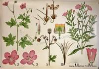Danish Botanical Wall Chart: #XVIII Geranium.