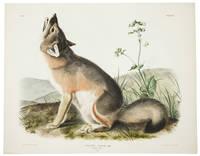 Vulpes Velox, Say. Swift Fox. [Plate LII]