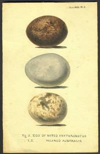 image of Original art of South American birds' eggs, Buteo Erythronotus & Milvago Australis