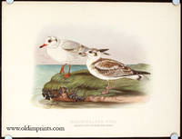 Black-Headed Gull. Immature in First and Second Years Plumage