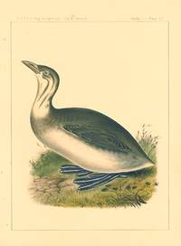 Poylimbus lineatus.  Lineated Diver.