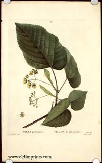 Tilia pubescens. Tilleul pubescent.