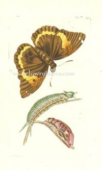 Plate #791.  The Cassia Butterfly (Papilio Cassiae).