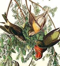 American Crossbill. From The Birds of America (Amsterdam Edition)