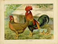 Brown Leghorns. by CASSELL'S CHROMOLITHOGRAPHS) - Ca. 1910. - from oldimprints.com and Biblio.com