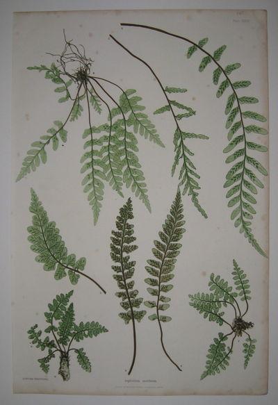 London: Henry Bradbury/Bradbury & Evans, 1855. unbound. very good. Botanical print. Nature-printed c...