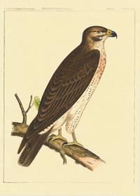 Buteo Swainsoni, Bonaparte.  Swainson's Buzzard / Western Red-Tailed Hawk.