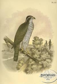 Plate XX The Ash-colored or Black-cap Hawk