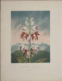 image of Tankerville's Limodorum
