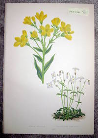 image of Antique Botanical Chromolithograph- Linum Flavum and Houstonia Caerulea
