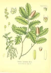 Quercus lusitanica Webb, var. infectoria Alph. DC