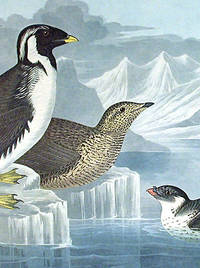 Black-throated Guillemot, Nobbed-billed Auk, Curled-Crested Auk. From The Birds of America (Amsterdam Edition)