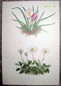image of Antique Botanical Chromolithograph- Crocus Boryanus Anddryas Octopetala