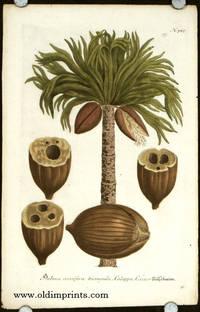 Palma coccifera triangula, Calappa, Coccus