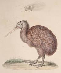 Apteryx Austral.  [the Kiwi]  Plate 24