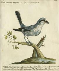 """Velia cenerina maggiore, Plate LIII, engraving from """"Storia naturale degli uccelli trattata con metodo e adornata di figure intagliate in rame e miniate al naturale"""""""