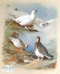 Thorburn\'s British Birds. Plate #56: Ptarmigan (male & female, winter & autumn).