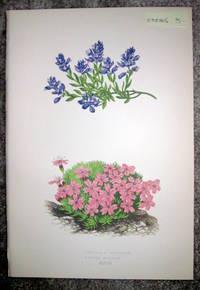 image of Antique Botanical Chromolithograph- Polygala Galcarea and Silene Acaulis