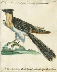 """Cucule nero e bianco, col ciuffo, Plate LXXI, engraving from """"Storia naturale degli uccelli trattata con metodo e adornata di figure intagliate in rame e miniate al naturale"""""""
