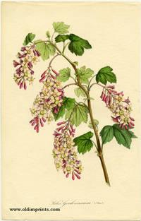 Ribes Gordonianum (var).