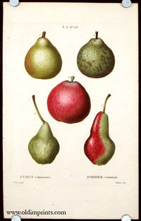 Pyrus communis. Poirier commun by  P.  (illus).  Gabriel (engraved by) PEARS) Bessa - Ca. 1801- 1819. - from oldimprints.com and Biblio.com