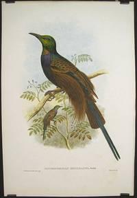 Ianthothorax Benzbachi, Buttik.  [Bensbach's Bird of Paradise]