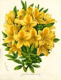 image of Azalea, Azalea Mollis Glabrior, color chromolithograph print. From the Flore des Serres et des Jardins de l'Europe