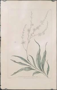 Asphodelus foliis planis caute ramoso floribus sparsis.