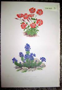 image of Antique Botanical Chromolithograph- Lychnis Lagascae and Veronica Nummularia