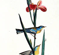 Blue Yellow-backed Warbler. From The Birds of America (Amsterdam Edition)