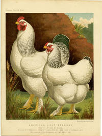 American Light Brahmas, Bred by Mr. Jos. M. Wade, Winners of First & Special Prize at Philadelphia 1871. And First at Pittsburg 1872. The Hen Now in the Possession of G. Wm. Petter. Esq