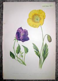 image of Antique Botanical Chromolithograph- Campanula Turbinata and Papaver Nudicaula