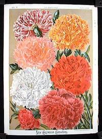 New Columbian Carnations