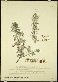 Lycium foliis linearbus, flore fructuque minori. Lycium foliis linearibus, flore fructuque majori