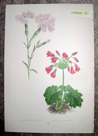 image of Antique Botanical Chromolithograph- Dianthus Gallicus and Cortusa Matthioli