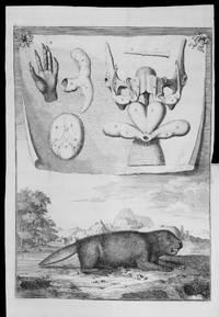 Description Anatomique d'un Cameleon, d'un Castor, d'un Dromadaire, d'un Ours, et...
