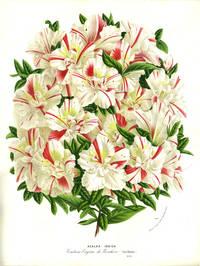 image of Azalea Indica, color chromolithograph. From the Flore des Serres et des Jardins de l'Europe. White, red flower print