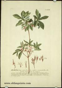 Azalea scapo nudo, florisbus confertis terminatricibus staminibus declinatis