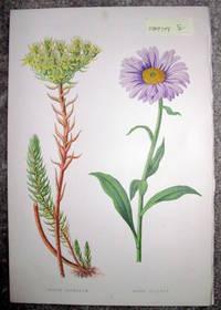 image of Antique Botanical Chromolithograph- Sedum Reflexum and Aster Alpinus