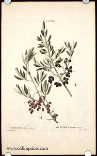 Olea Europaea, Sylvestris. Olivier d'Europe, Sauvage.