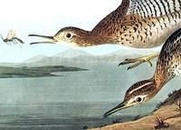 Bartram Sandpiper. From The Birds of America (Amsterdam Edition)