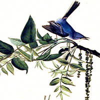 Blue-grey Fly-catcher. From The Birds of America (Amsterdam Edition)