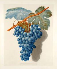 [Grapes] Black Marocco (Morocco Grape)