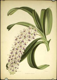 Saccolabium violaceum