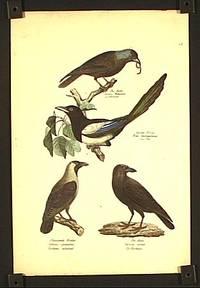 Die Dohle. Corvus Monedula. Le chovaca. / Garten-Elster. Pica melancoleuca. La Pie. / Glanzende Krahe. Corbus splendens. Corbeau eclatant. / Der Rabe. Corvus corax. Le Corbeau