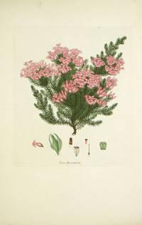 Erica Hyacinthoides